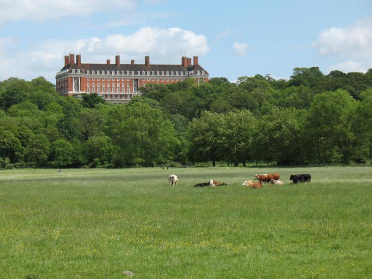 The cows on Petersham meadows (may feature on the menu at Petersham nurseries cafe)