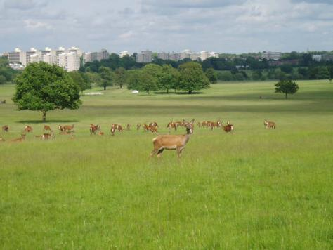 The deer at Richmond Park, with the London skyline in the background